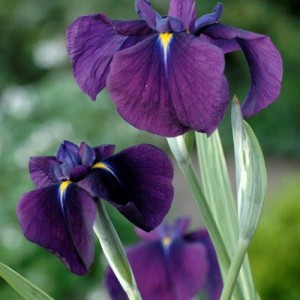 Iris kaempferi 'Variegata'